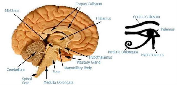 eye_of_horus_thalamus_brain.jpg